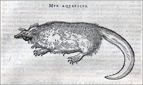 El desmán de Clusius_1605_Mus aquaticus_500