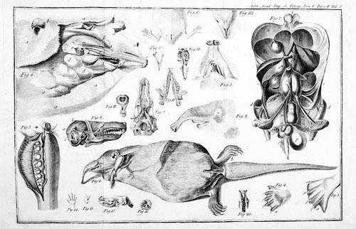 El desmán de Pallas 02_1781_Sorex moschatus_500_BN
