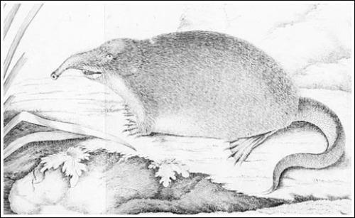 El desmán de Pallas 1781 Soex moschatus_500_BN