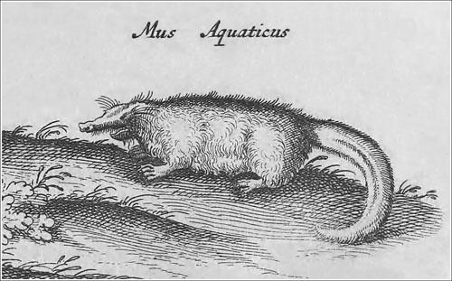 El mus aquaticus de Jonston_EL BUENO_redu_500