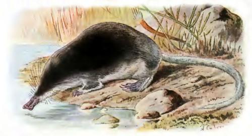 Fauna ibérica; mamíferos