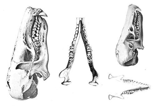 Galemys pyrenaicus Myogalea pyrenaica desman Pirineos Pyrenees Eugene Trutat skulls 500