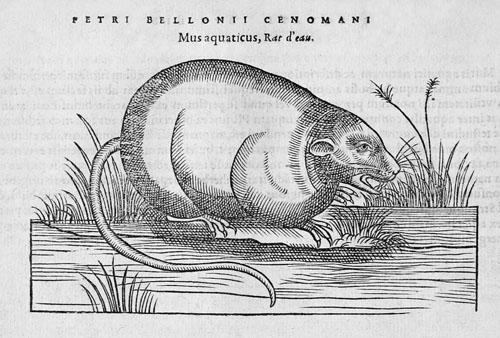 Mus aquaticus Pierre Belon Petri Bellonii Cenomani 500