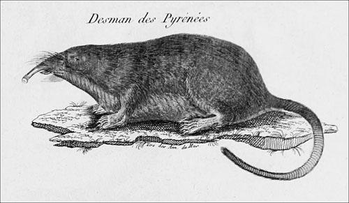 El desman pirenaico de Desmarest_desde orig 1820_redu_500