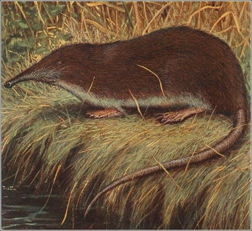 El desmán de Martin_Myogalea pyrenaica 1910_redu_500