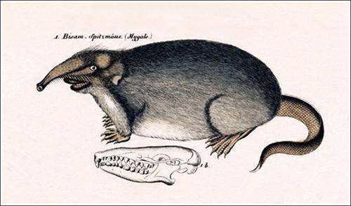 Galemys pyrenaicus Mygale Desmana_01 500