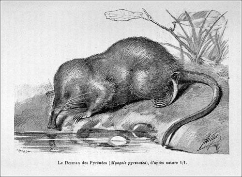Galemys pyrenaicus Myogale pyrenaica Oustalet 1895 500