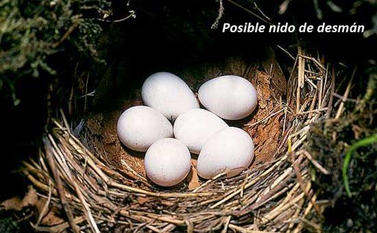 huevos de desman_2