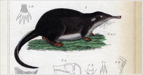 Mygale-moschatus-Cuvier-1_500