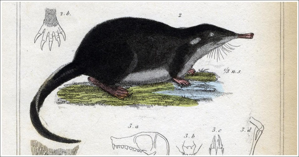 Mygale-moschatus-Cuvier-2