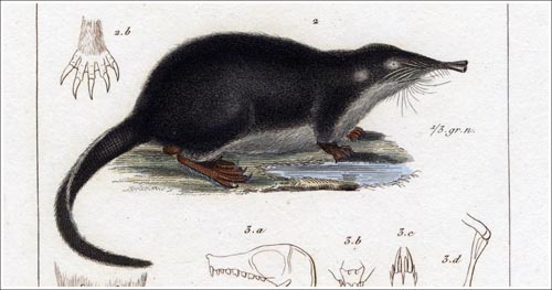 Mygale-moschatus-Cuvier-3_500